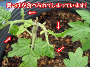 トマトの葉っぱが!
