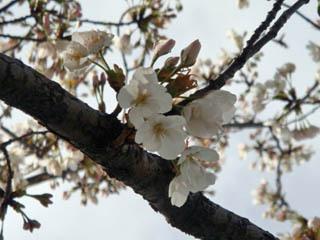 違う木の桜